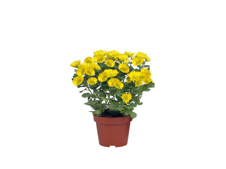 Chryzantéma viacstonková