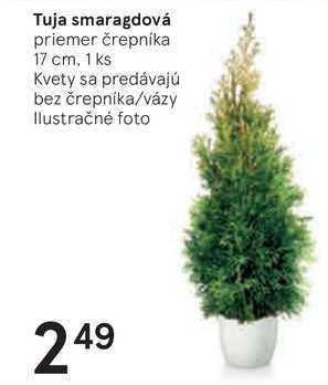 Tuja smaragdová, 1 ks
