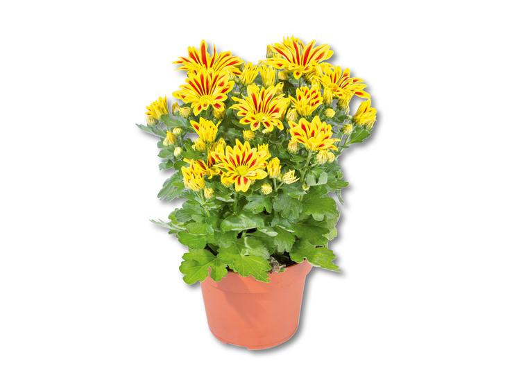 Chryzantéma Elle Fleur