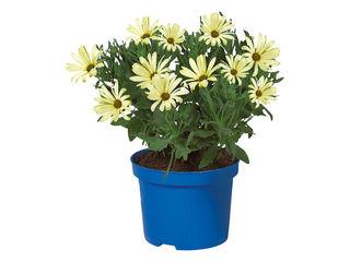 Obrázok Osteospermum