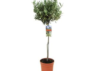 Olivovník na kmienku